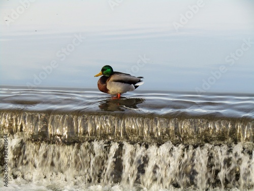 Canvas Print Single male duck standing on the waterfall of a fishpond in Budapest suburb, Hun