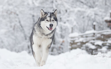 dog frosty winter snowy forest, alaskan malamute