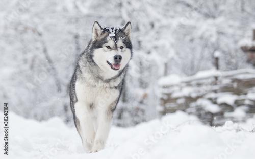dog frosty winter snowy forest, alaskan malamute