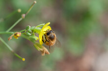 Close Up Of A Bee Collecting P...