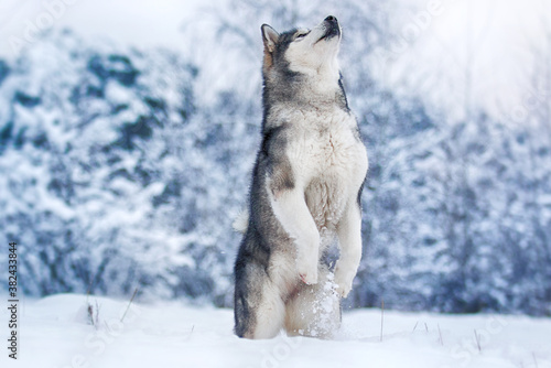 Obraz na plátně dog stands on its hind legs in a frosty winter snowy forest, Alaskan Malamute