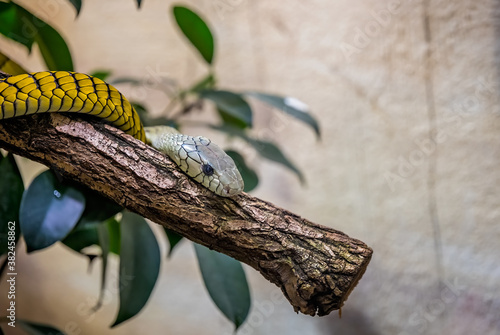 Fototapeta Closeup of a western green mamba snake resting on a tree