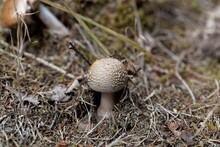 Blusher Fungus, Amanita Rubescens