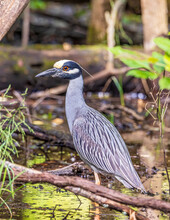 A Beautiful Yellow Crowned Night Heron Wading In A Shallow Pond Looking For A Meal.