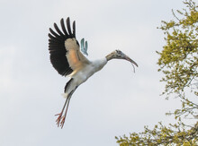 A Wood Stork (Mycteria Americana) In Flight, Carrying A Stick During Nest Building.  It Is A Large American Wading Bird In The Stork Family.
