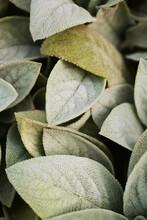 Close Up Of Soft Lamb's Ear Plant Leaves