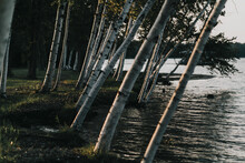 Birch Trees Growing Along Water's Edge