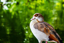 Egyptian Goose By The Water