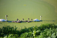 Swan Family On A Dirty Green B...