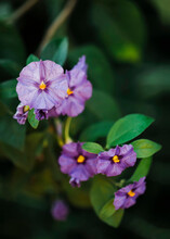 Close Up Of Lycianthes Rantonneti (potatobush) Plant With Flowers In Blossom