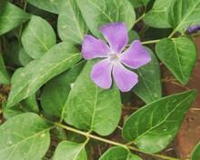 Single Purple Periwinkle Flower