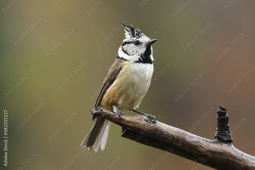 Fototapeta The European crested tit, or simply crested tit (Lophophanes cristatus) sitting on the branch