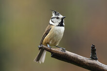The European Crested Tit, Or S...