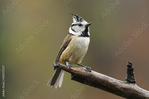 Fototapeta The European crested tit, or simply crested tit (Lophophanes cristatus) sitting