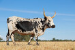 canvas print picture - Nguni cow - indigenous cattle breed of South Africa - on a rural farm.