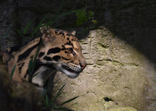 Close-up Of Clouded Leopard In Zoo
