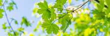 Large Green Leaves On Tree Branches, View From Below, Selective Focus, Blurry Background