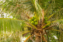 A Bunch Of Green Coconuts Grow...