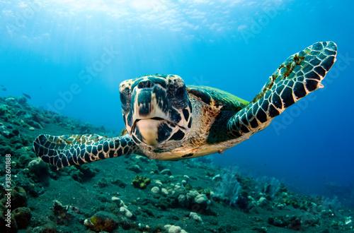 Hawksbill sea turtle in coral reefs Canvas Print