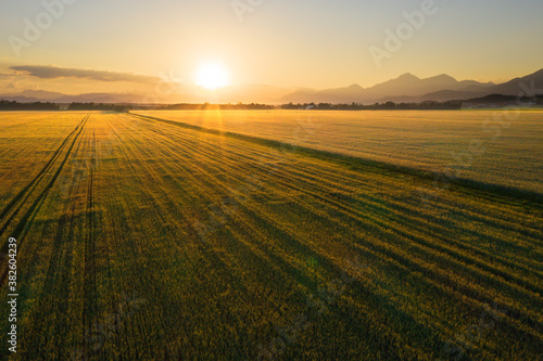 Fototapeta American farm field of wheat at sunset. obraz