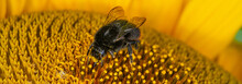 Close Up Macro Of Bumble Bee Pollinating British Sunflowers. Walking On Single Sunflower Head In Bloom Yellow Flower And Black Seeds