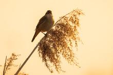 Eurasian Reed Warbler Acroceph...