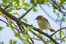 Willow Warbler Bird, Phyllosco...