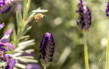 Blue Banded Bee Collecting Nectar From A Horse Tail Lavender Flower