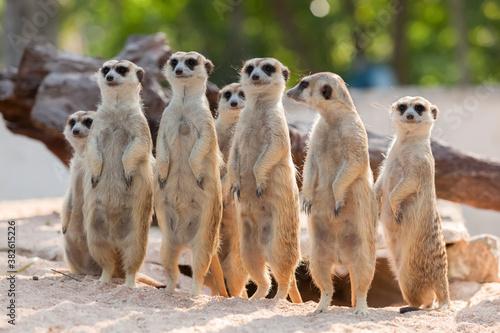 Fototapeta meerkat