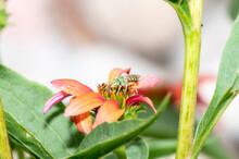 A Striped Sweat Bee In The Gen...
