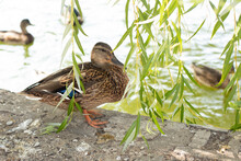 Wild Duck Peeks Out Of Willow ...