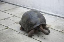A Giant Tortoise Walking On Ce...
