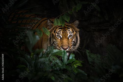 Fototapety, obrazy: Close up view of a Siberian tiger (Panthera tigris altaica)