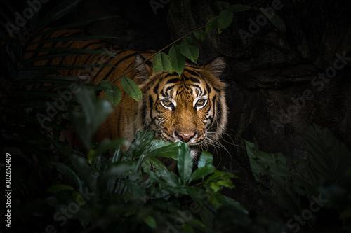 Fototapeta Close up view of a Siberian tiger (Panthera tigris altaica)