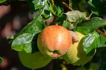 Large Sweet Braeburn Apples Ri...