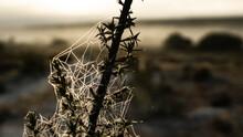 Spiderweb On A Thorn Bush