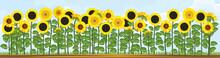 Yellow Sunflower Field And Blue Sky. Flower Border