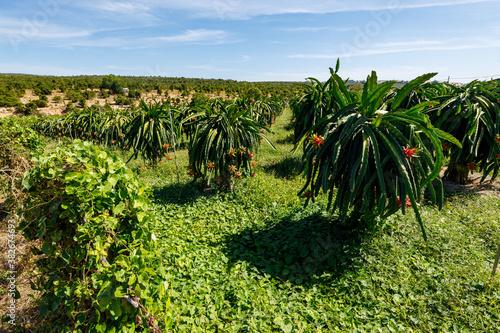 фотография A plantation of dragon fruit cactus