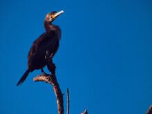Ptak Kormoran Phalacrocorax Ca...