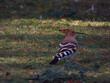 ptak dudek Upupa epops dziób pióra