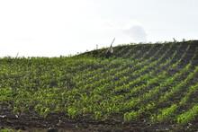 Corn Field Just Broom