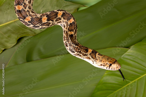 Fotografia Tongue of snake