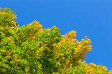 Unadorned Autumnal Maple Tree ...
