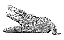 Graphical Angry Crocodile Isol...