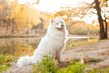 White Samoyed Dog  In Autumn O...