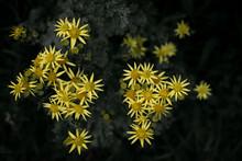 Yellow Wild Ragwort Flower Macro