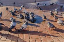 A Large Group Of Pigeons Bathi...