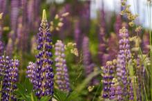 Field Of Purple Lupins