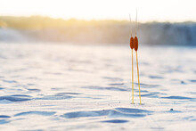 Two Bulrush Plants With Two He...