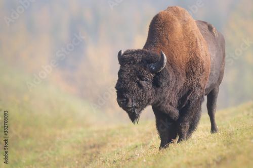 Fotografie, Obraz Bison in the fall